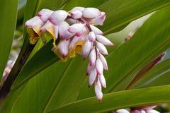 Shell-gemberroze, een verleidelijke bloem stock fotografie