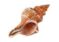 Shell getrennt auf Weiß lizenzfreie stockfotografie