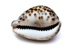Shell getrennt auf Weiß Stockfotografie