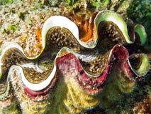 Shell gigante del Tridacna imagen de archivo libre de regalías