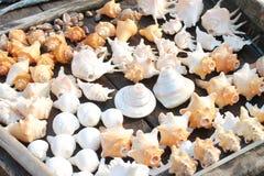 Shell gigantes Imagens de Stock