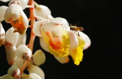 Shell giner flower and  flying bee Royalty Free Stock Photography