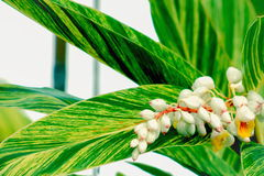 Shell Ginger Plant royalty-vrije stock afbeelding
