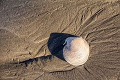 Sea shell on sandy beach with small ripple marks royalty free stock photography