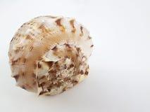 Shell grande Fotos de archivo libres de regalías