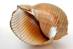 Shell griego grande afiligranado del caracol Fotografía de archivo libre de regalías