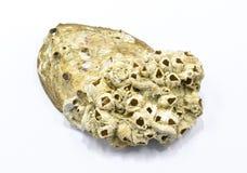 Shell. A grotesque shells on white background Stock Photos