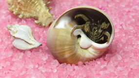 Shell with  the hermit crab Stock Image