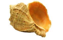 Shell hermoso del mar Imagen de archivo
