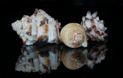 Shell Horned e espirais foto de stock royalty free