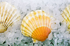 Shell on ice Stock Photo