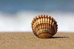 Free Shell In The Sand Royalty Free Stock Photos - 14943418