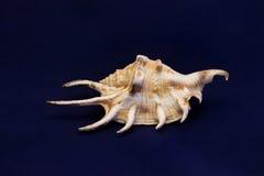 Shell incomum bonito do mar em um fundo azul imagens de stock