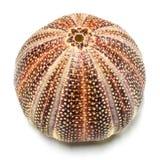 Shell inglês do diabrete de mar Fotos de Stock