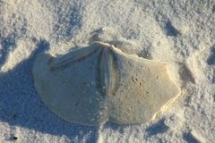 Panama City Beach Shell Island, Florida sand dollar on the beach stock images