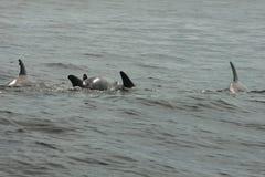 Shell Island, spiaggia di Panama City dei delfini del baccello di Florida fotografia stock libera da diritti