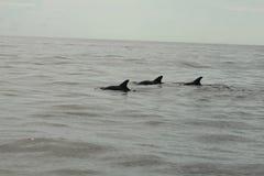 Shell Island, spiaggia di Panama City dei delfini di Florida tre fotografia stock libera da diritti