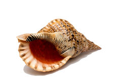 Shell isolate. Sea shell isolate on a white background Stock Images
