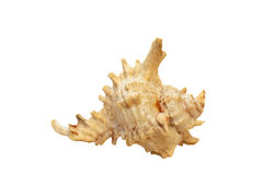 Shell isolated Royalty Free Stock Image