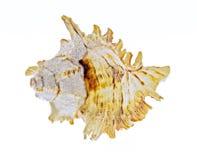 Shell isolated Royalty Free Stock Photos
