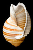 Shell isolated Stock Image