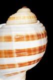 Shell Isolated Stock Photo
