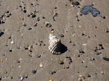 Shell. Isolated shell amongst smooth pebbles on he beach Royalty Free Stock Image