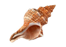 Shell isolated on white Royalty Free Stock Photography
