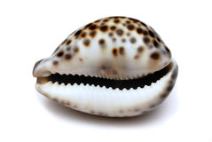Shell isolated on white Stock Photography