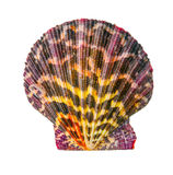 Shell is isolated on white  background Royalty Free Stock Photo