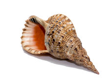 Shell isolent Image stock