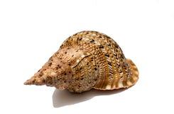 Shell isolent Photographie stock libre de droits