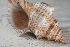 Shell on Lace Stock Photos