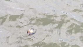 Shell lake floats on the surface of the water. The shell is dead.  The lake shell lives on the bottom of the ponds and lakes. He is part of the Unionidae stock footage