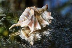 Shell lambis Royaltyfri Foto