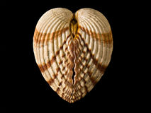 Shell like heart Royalty Free Stock Photography