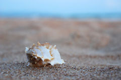 Shell. Royalty Free Stock Photography