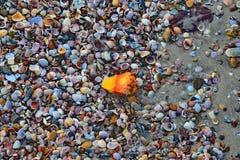 Shell lixa a praia do mar Imagens de Stock Royalty Free