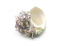 The shell of Luminous shellfish Royalty Free Stock Images