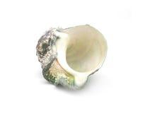 The shell of Luminous shellfish Stock Images