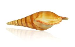 Shell marine mollusk Arabian tibia lat. Tibia insulaechorab on a white background. Mirror reflection Stock Photography