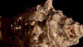 Shell marinho bege do mar isolado no preto, rotação filme