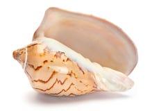 Shell marrón del molusco Imagen de archivo