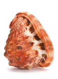 Shell marrón del molusco Foto de archivo libre de regalías