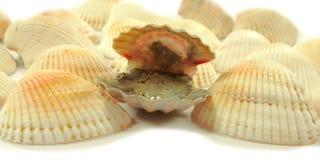 Shell met parels stock foto's
