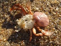 Shell śmiertelny krab Fotografia Royalty Free