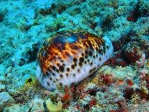 Shell mollusc Stock Image