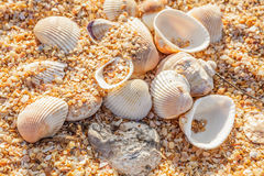 Shell molluscs on the beach Stock Photos