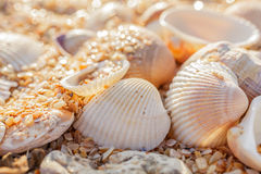 Shell molluscs Royalty Free Stock Photo