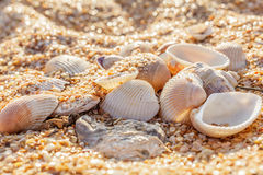 Shell molluskar i sanden Arkivfoto